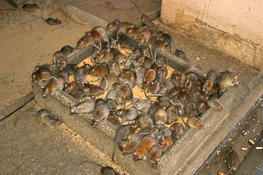 Northants Pest Control Rat Mice Amp Rodent Control Northants